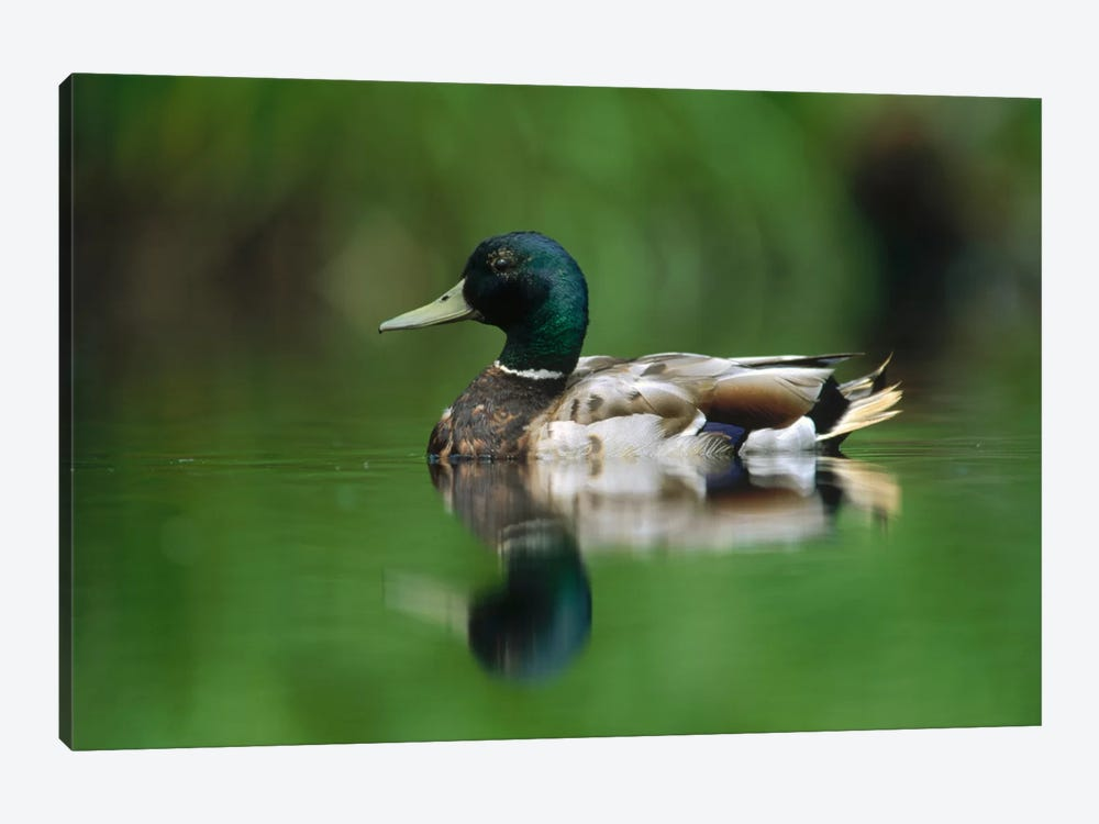 Mallard Male Portrait, Vancouver Island, British Columbia, Canada by Tim Fitzharris 1-piece Art Print