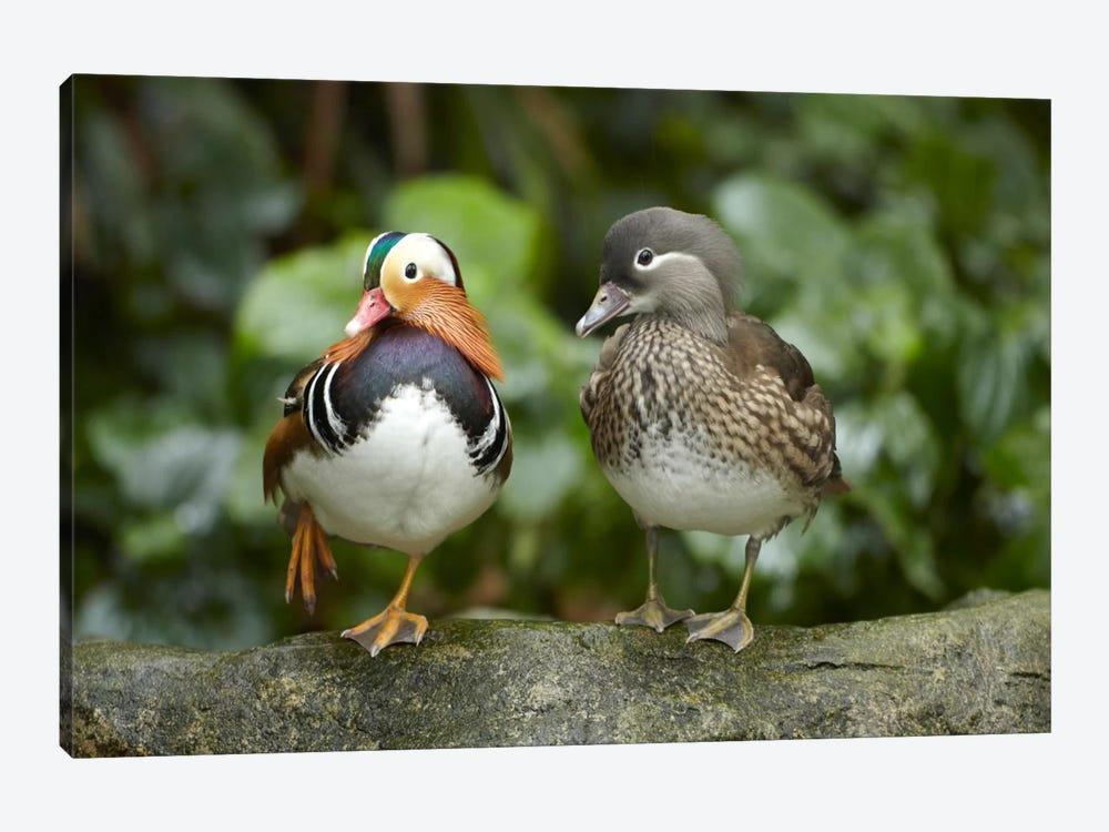 Mandarin Duck Male And Female, Jurong Bird Park, Singapore by Tim Fitzharris 1-piece Canvas Artwork