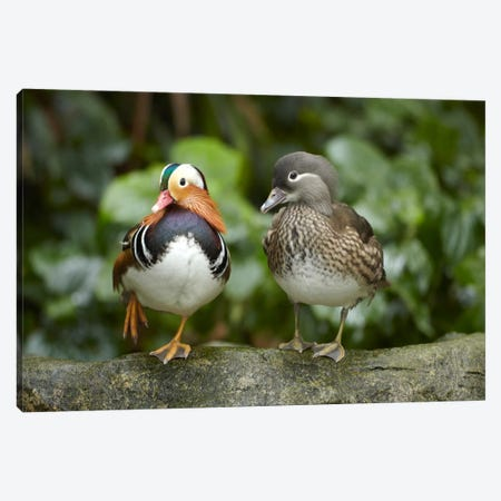 Mandarin Duck Male And Female, Jurong Bird Park, Singapore Canvas Print #TFI566} by Tim Fitzharris Canvas Artwork