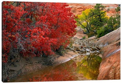 Maple And Cottonwood Autumn Foliage, Zion National Park, Utah II Canvas Art Print