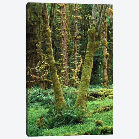 Maple Glade, Quinault Rain Forest, Olympic National Park, Washington Canvas Print #TFI569} by Tim Fitzharris Canvas Print