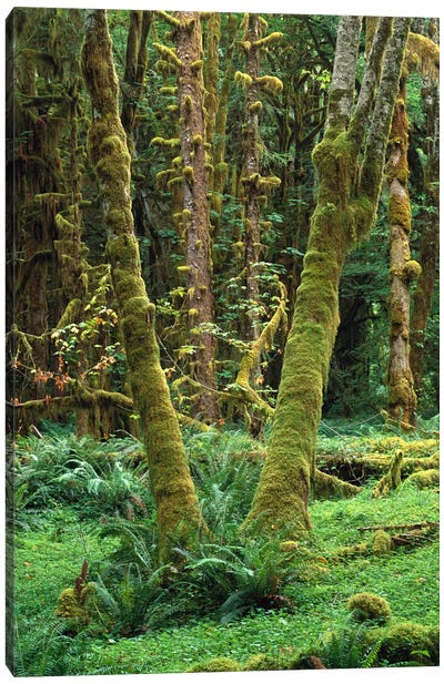 Maple Glade, Quinault Rain Forest, Olympic National Park, Washington Canvas Art Print