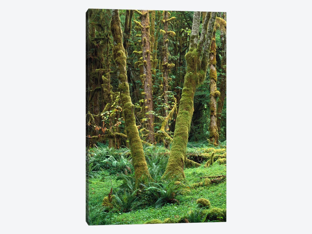 Maple Glade, Quinault Rain Forest, Olympic National Park, Washington by Tim Fitzharris 1-piece Canvas Art Print