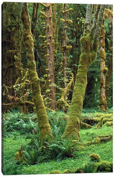 Maple Glade, Quinault Rain Forest, Olympic National Park, Washington Canvas Art Print