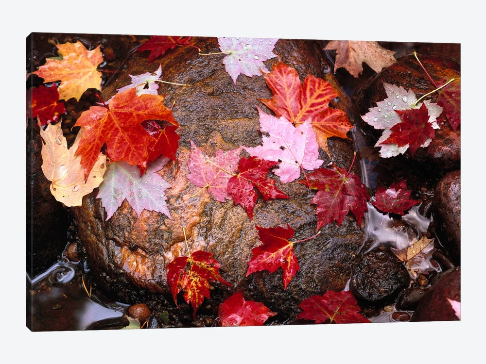 Maple Leaves In Sable Creek, Pictured Rocks National Lakeshore, Michigan by Tim Fitzharris 1-piece Art Print