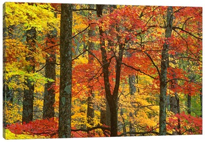 Maple Trees In Autumn, Great Smoky Mountains National Park, Tennessee Canvas Art Print
