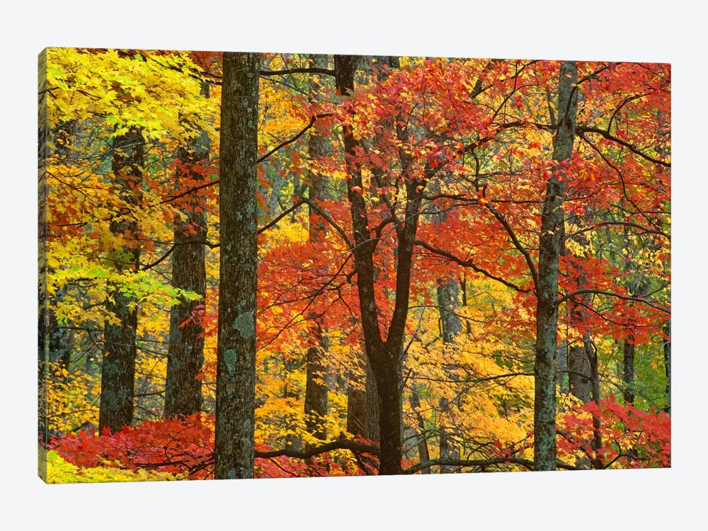 Maple Trees In Autumn, Great Smoky Mountains National Park, Tennessee by Tim Fitzharris 1-piece Canvas Wall Art