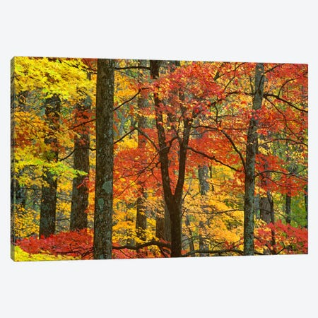 Maple Trees In Autumn, Great Smoky Mountains National Park, Tennessee Canvas Print #TFI571} by Tim Fitzharris Canvas Artwork
