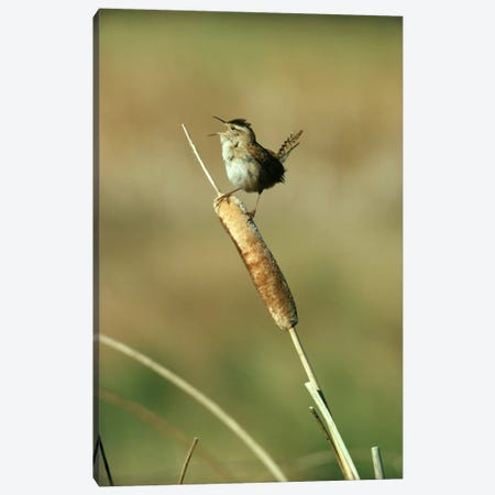 Marsh Wren Singing While Perching On A Common Cattail, Alberta, Canada Canvas Print #TFI578} by Tim Fitzharris Canvas Art