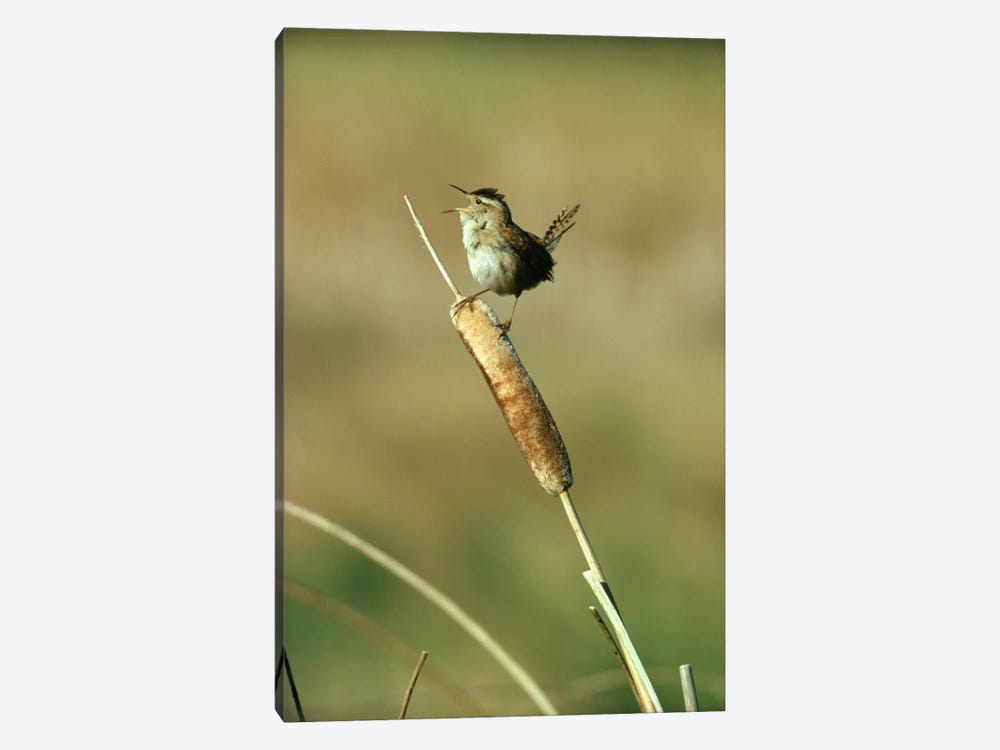 Marsh Wren Singing While Perching On A Common Cattail, Alberta, Canada by Tim Fitzharris 1-piece Art Print