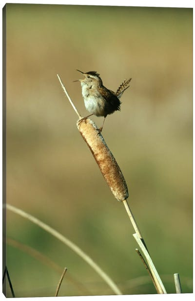 Marsh Wren Singing While Perching On A Common Cattail, Alberta, Canada Canvas Art Print