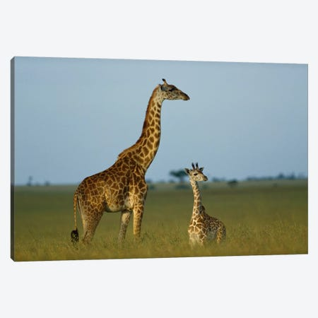 Masai Giraffe Adult And Foal On Savanna, Kenya Canvas Print #TFI580} by Tim Fitzharris Canvas Print
