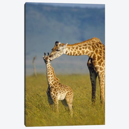 Masai Giraffe Mother And Young, Kenya I Canvas Print #TFI581} by Tim Fitzharris Canvas Print