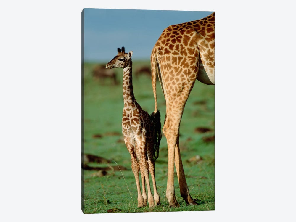 Masai Giraffe Mother And Young, Kenya II by Tim Fitzharris 1-piece Canvas Artwork
