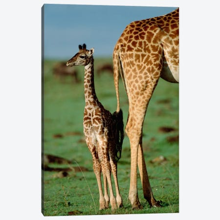 Masai Giraffe Mother And Young, Kenya II Canvas Print #TFI582} by Tim Fitzharris Art Print