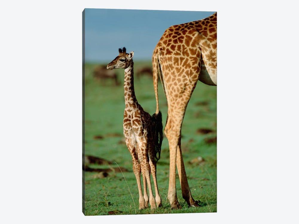 Masai Giraffe Mother And Young, Kenya II by Tim Fitzharris 1-piece Canvas Artwork