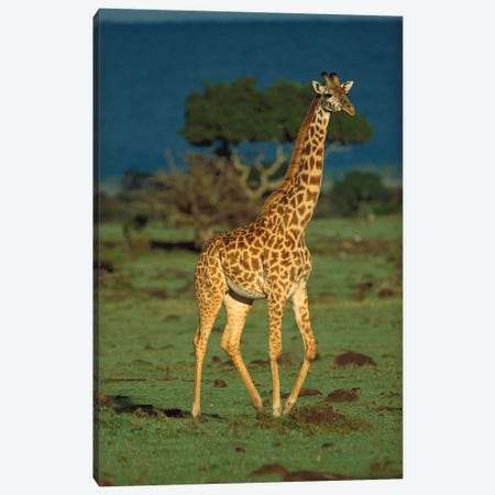 Masai Giraffe Portrait, Kenya Canvas Print #TFI583} by Tim Fitzharris Canvas Art Print