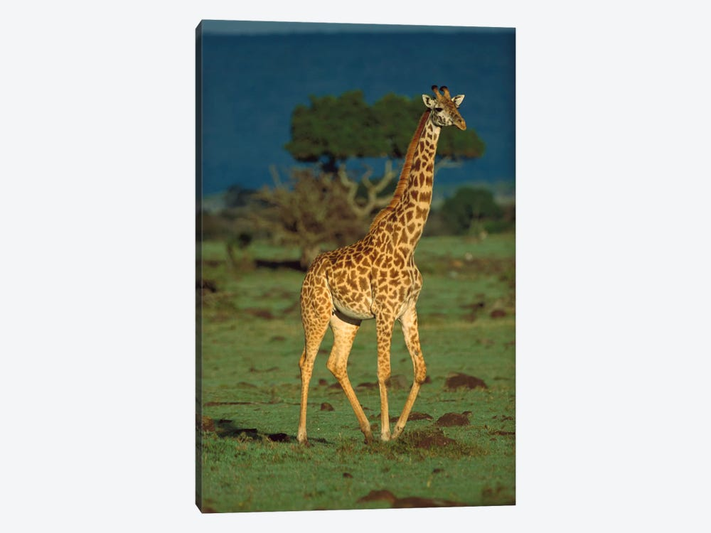 Masai Giraffe Portrait, Kenya by Tim Fitzharris 1-piece Art Print