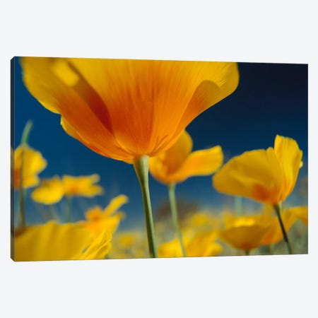 Mexican Golden Poppy, New Mexico Canvas Print #TFI597} by Tim Fitzharris Art Print