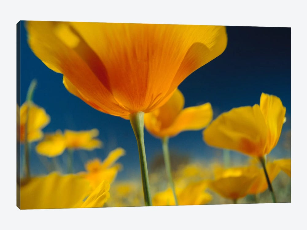 Mexican Golden Poppy, New Mexico by Tim Fitzharris 1-piece Canvas Artwork