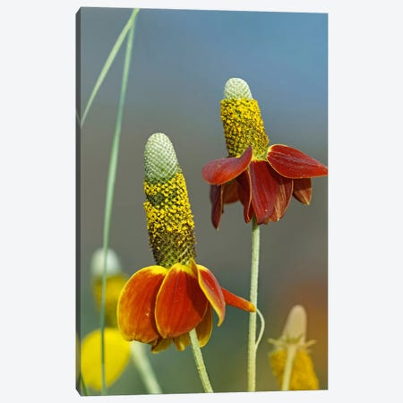 Mexican Hat Flowers In Bloom, North America Canvas Print #TFI598} by Tim Fitzharris Canvas Wall Art