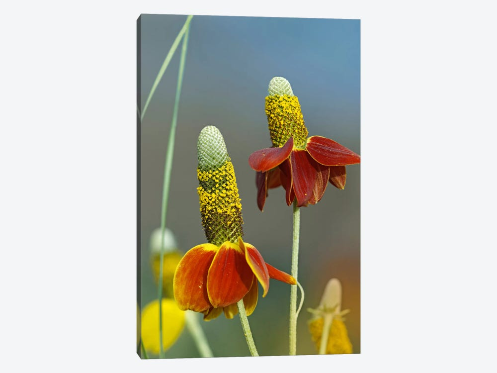 Mexican Hat Flowers In Bloom, North America by Tim Fitzharris 1-piece Canvas Art Print
