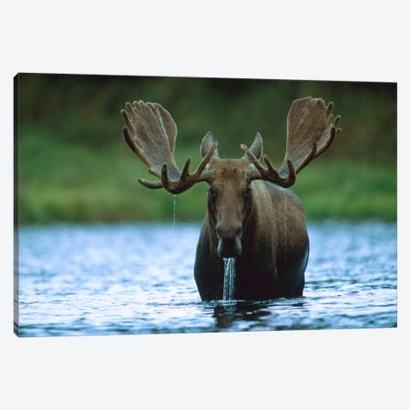 Moose Male Raising Its Head While Feeding On The Bottom Of A Lake, North America Canvas Print #TFI617} by Tim Fitzharris Canvas Wall Art