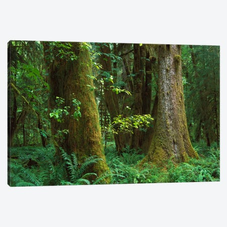 Moss-Covered Trees And Dense Undergrowth In The Hoh Temperate Rainforest, Olympic National Park, Washington Canvas Print #TFI624} by Tim Fitzharris Art Print