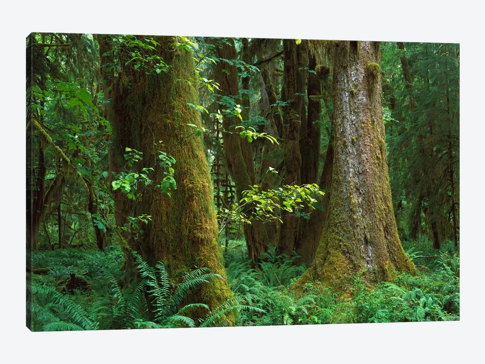 Moss-Covered Trees And Dense Undergrowth In The Hoh Temperate Rainforest, Olympic National Park, Washington by Tim Fitzharris 1-piece Canvas Art
