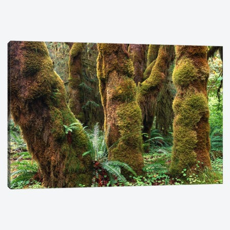 Mossy Big-Leaf Maples, Hoh Rainforest, Olympic National Park, Washington Canvas Print #TFI625} by Tim Fitzharris Canvas Print