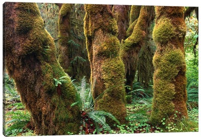 Mossy Big-Leaf Maples, Hoh Rainforest, Olympic National Park, Washington Canvas Art Print