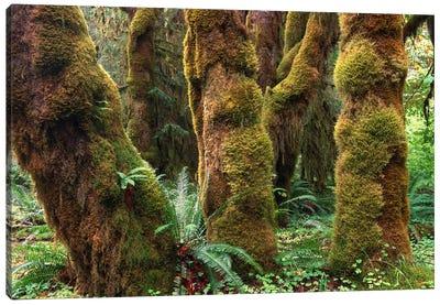 Mossy Big-Leaf Maples, Hoh Rainforest, Olympic National Park, Washington Canvas Art Print