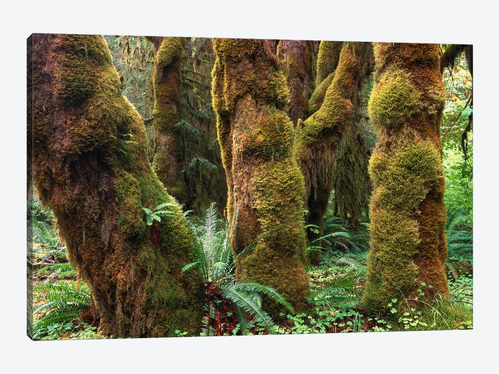 Mossy Big-Leaf Maples, Hoh Rainforest, Olympic National Park, Washington by Tim Fitzharris 1-piece Canvas Print