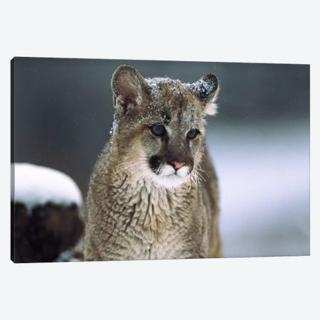 Mountain Lion Cub In Snow, Montana Canvas Print #TFI650} by Tim Fitzharris Art Print