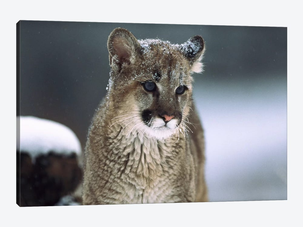 Mountain Lion Cub In Snow, Montana by Tim Fitzharris 1-piece Canvas Print
