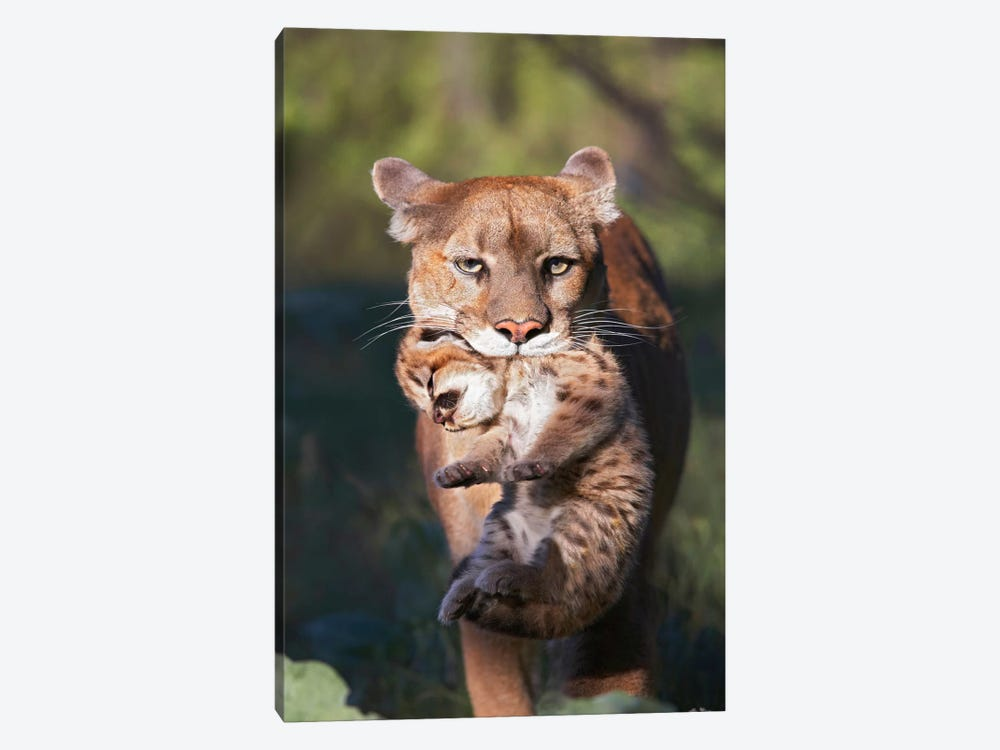 Mountain Lion Mother Carrying Cub In Her Mouth, North America by Tim Fitzharris 1-piece Canvas Wall Art