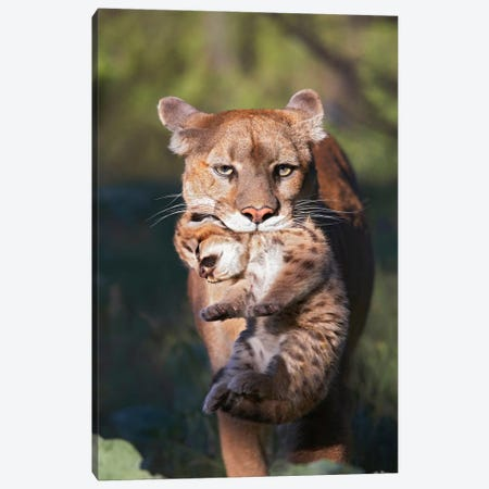 Mountain Lion Mother Carrying Cub In Her Mouth, North America Canvas Print #TFI651} by Tim Fitzharris Canvas Print