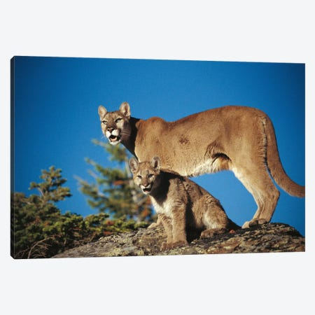 Mountain Lion Mother With Kitten, North America Canvas Print #TFI652} by Tim Fitzharris Canvas Print
