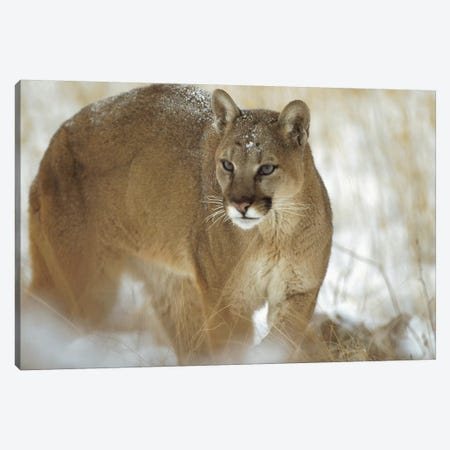 Mountain Lion Portrait In Winter, Montana Canvas Print #TFI653} by Tim Fitzharris Art Print