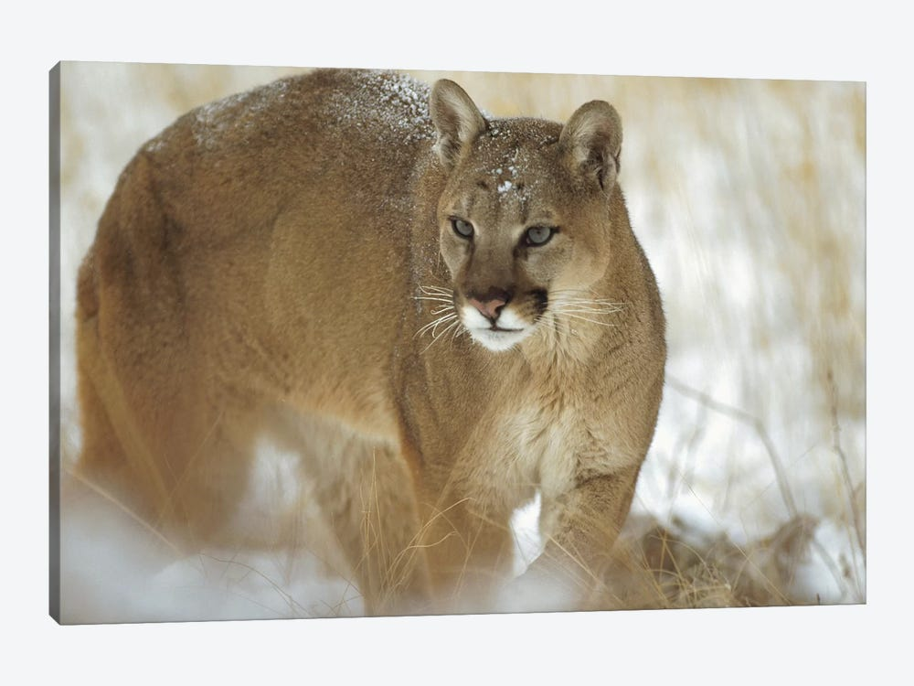 Mountain Lion Portrait In Winter, Montana by Tim Fitzharris 1-piece Canvas Wall Art