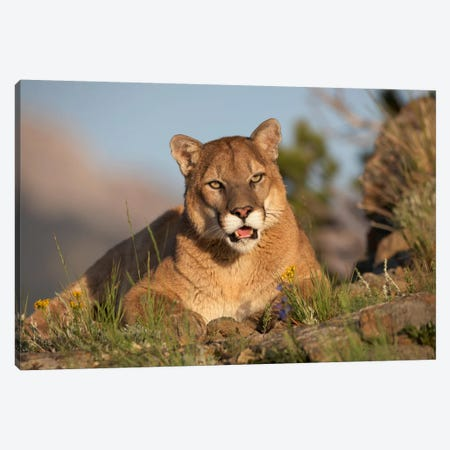 Mountain Lion Portrait, North America I Canvas Print #TFI654} by Tim Fitzharris Canvas Art