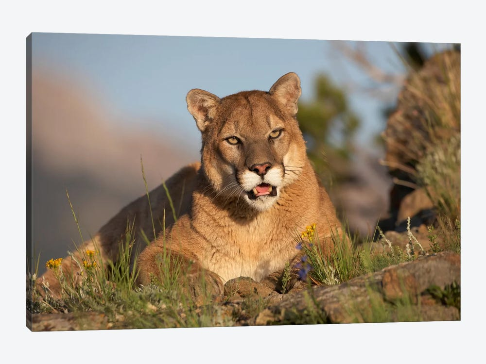 Mountain Lion Portrait, North America I by Tim Fitzharris 1-piece Canvas Art Print