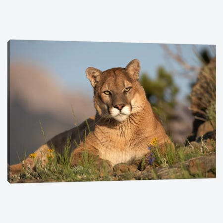 Mountain Lion Portrait, North America II Canvas Print #TFI655} by Tim Fitzharris Canvas Wall Art
