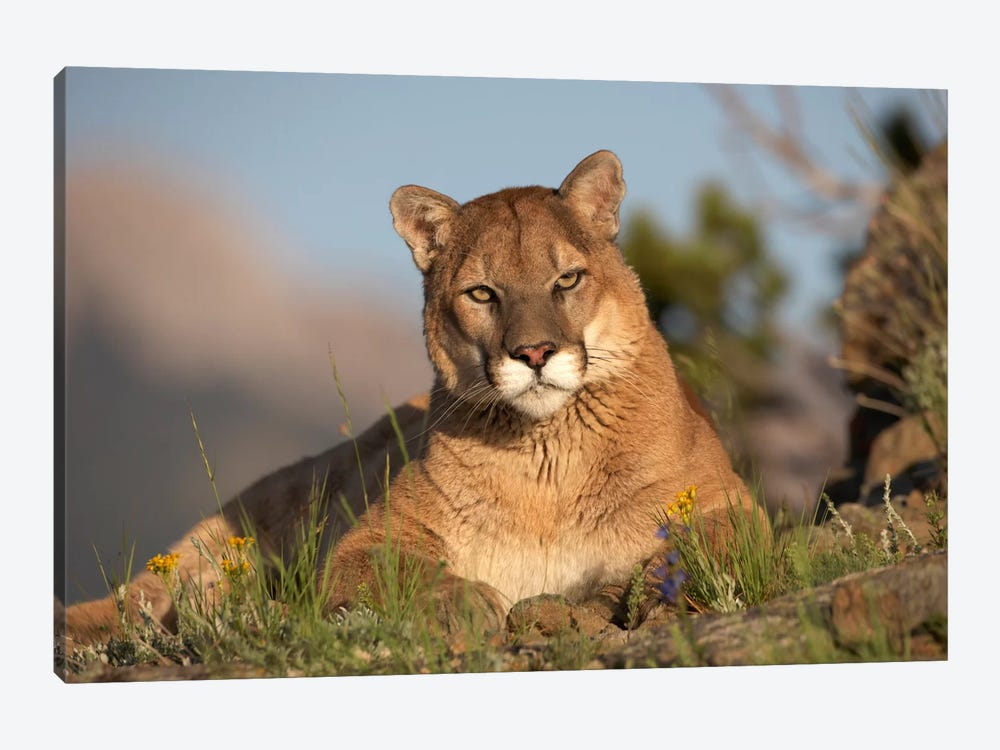 Mountain Lion Portrait, North America II by Tim Fitzharris 1-piece Canvas Art