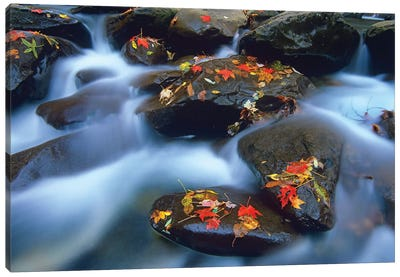 Autumn Leaves On Wet Boulders In Stream, Great Smoky Mountains National Park, North Carolina Canvas Art Print