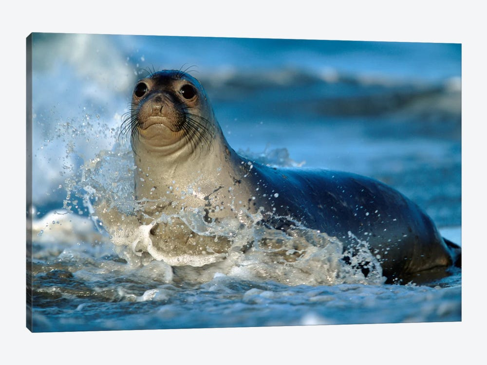 Northern Elephant Seal Female In Splashing Surf, North America by Tim Fitzharris 1-piece Canvas Print