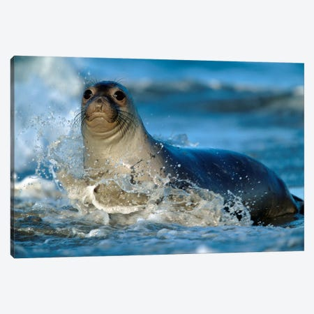 Northern Elephant Seal Female In Splashing Surf, North America 3-Piece Canvas #TFI690} by Tim Fitzharris Canvas Art Print