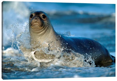 Northern Elephant Seal Female In Splashing Surf, North America Canvas Art Print