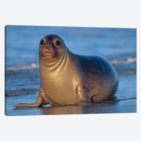 Northern Elephant Seal Female Laying On Beach, California Canvas Print #TFI691} by Tim Fitzharris Canvas Art Print