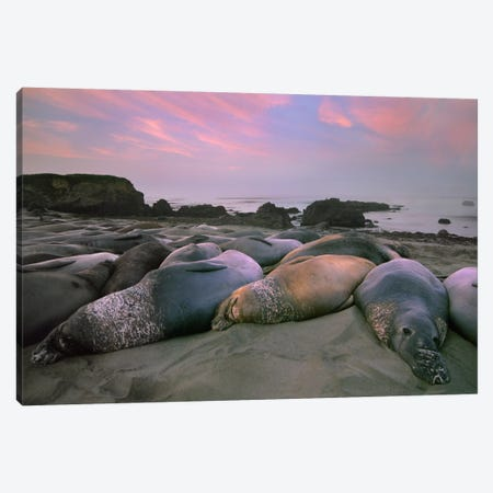 Northern Elephant Seal Group Laying On Beach, Point Piedra Blancas, California Canvas Print #TFI692} by Tim Fitzharris Canvas Art Print
